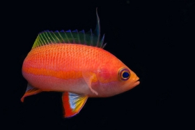 Jera (Anthias anthias)